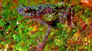 rainbowtoad 300x168 Радужная жаба открыта вновь спустя 87 лет